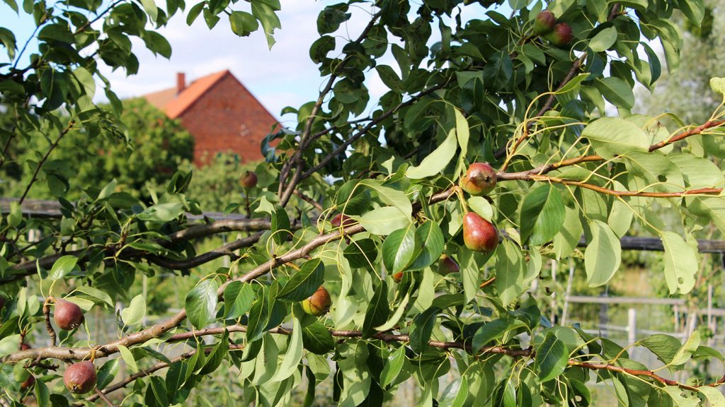 Obstbäume selbst veredeln & alte Sorten kultivieren