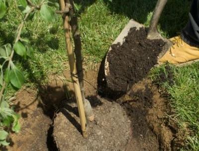 Bäume im Obstgarten pflanzen & pflegen Teil II