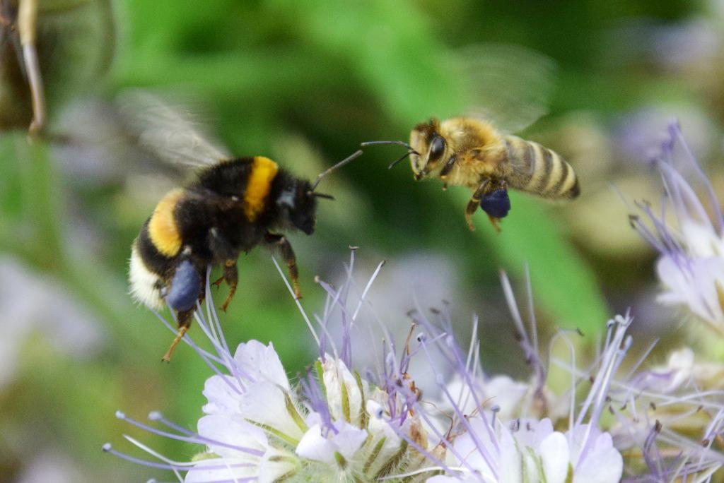 Das Summen der Bienen und Wildbienen